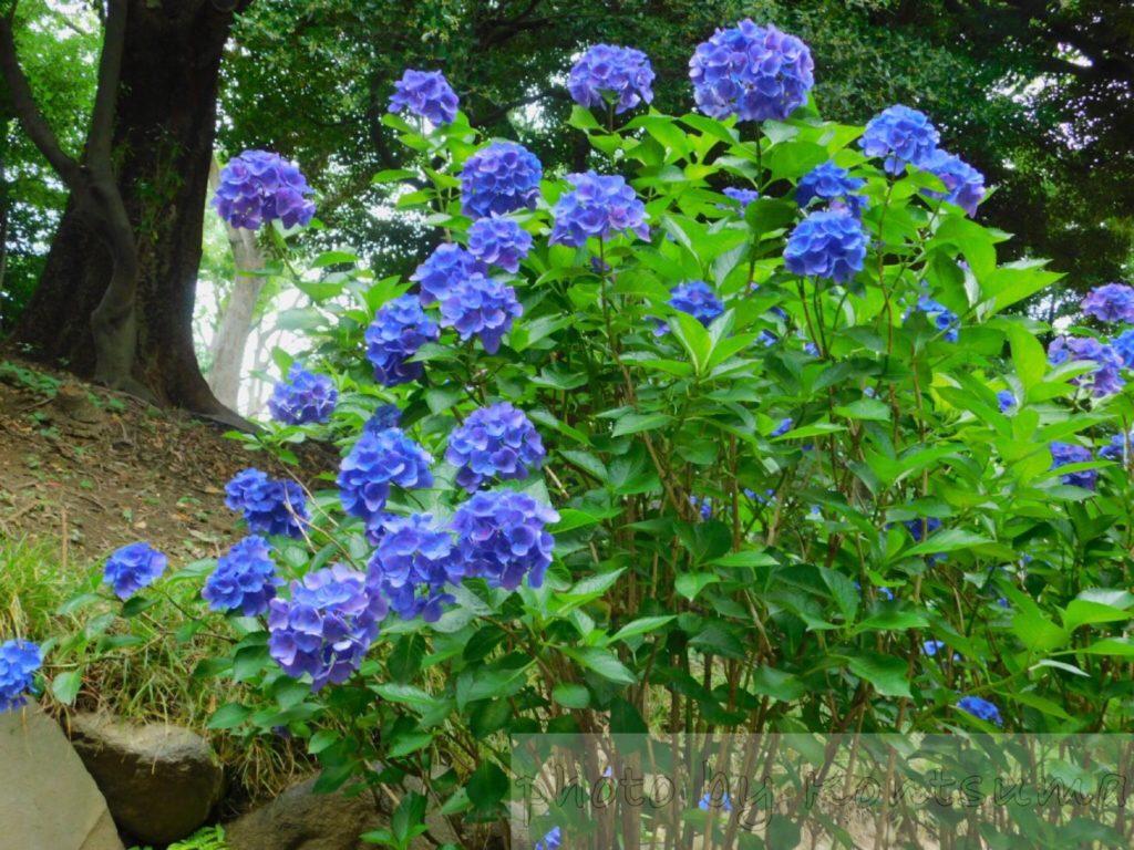 旧岩崎邸庭園 紫陽花